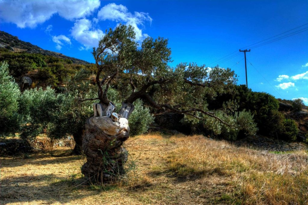 Ancient Olive Tree in Paleopolis - Andros Island