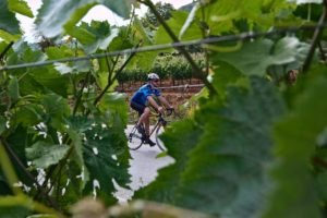 Cyclist is cycling through wine trees during a Nemea wine tour