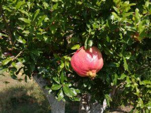 Perfectly round pomegranate