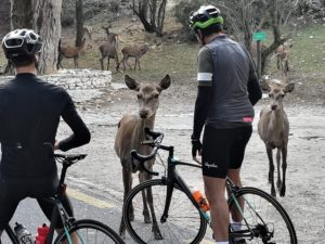 Deer welcome cyclists on road bikes after they have climbed mt. Parnitha