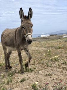The Santorini Donkey part of every cycling tour